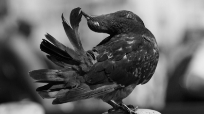 Black Pigeon Heart Spell That Work For Distant Love